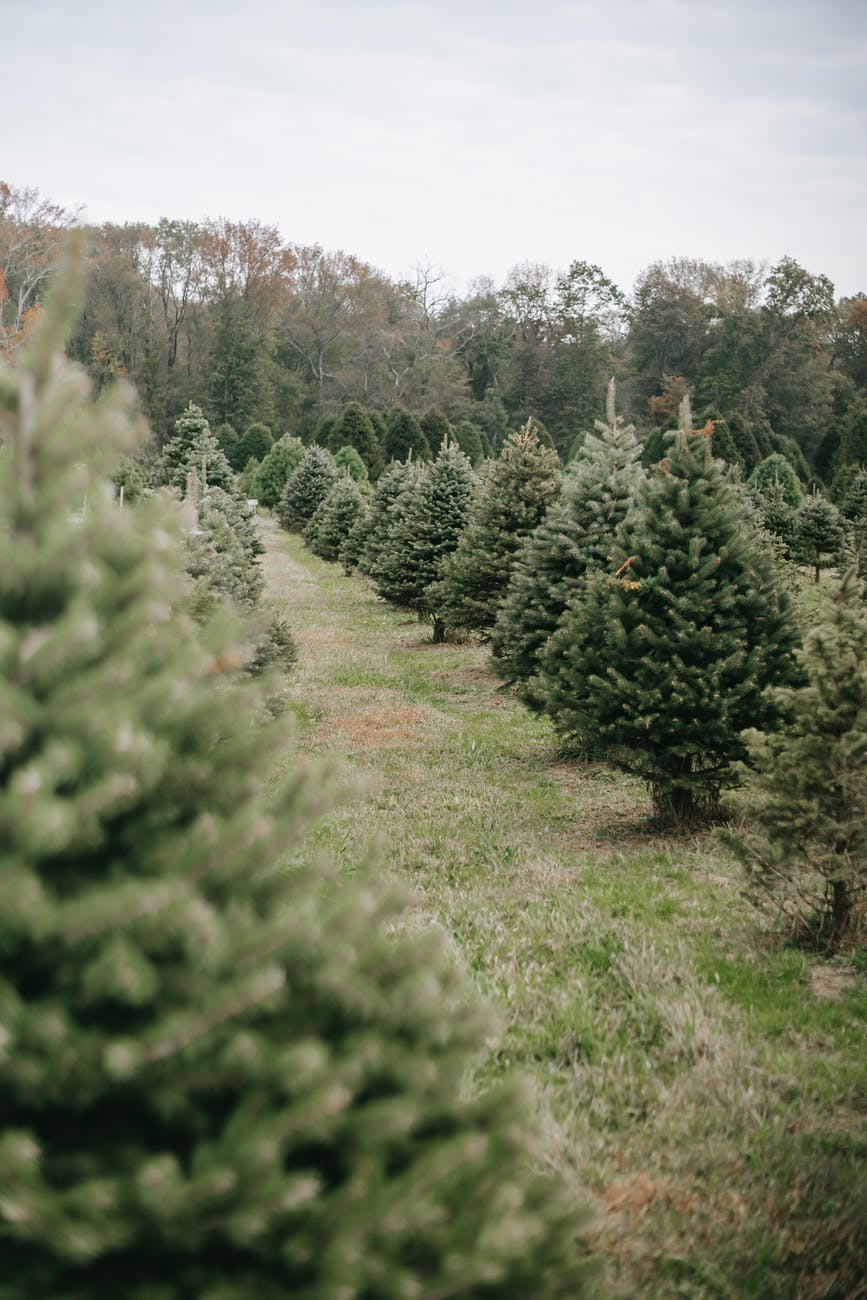 A Shortage of Christmas Trees? And it's not because of theGrinch!